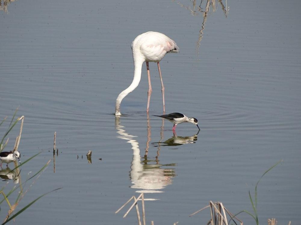 Flamingo_Stelzenlaeufer