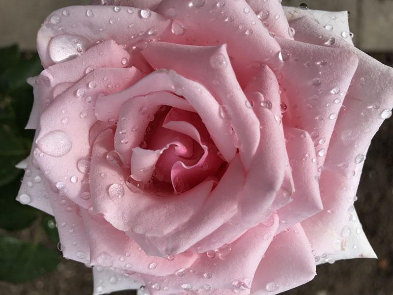 rosarium3